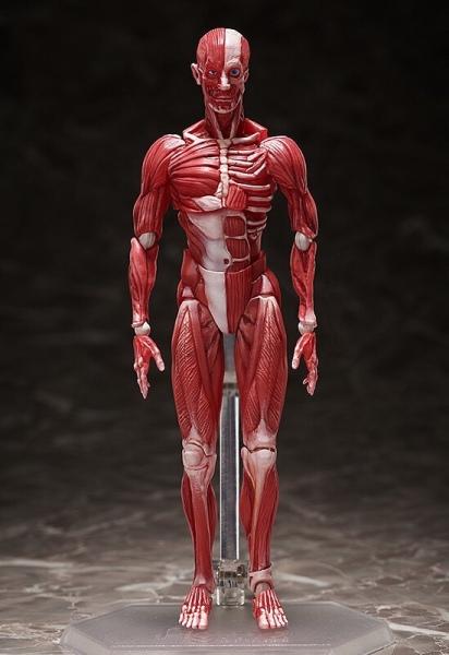 figma-anatomical-model